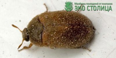 Разновидность жука