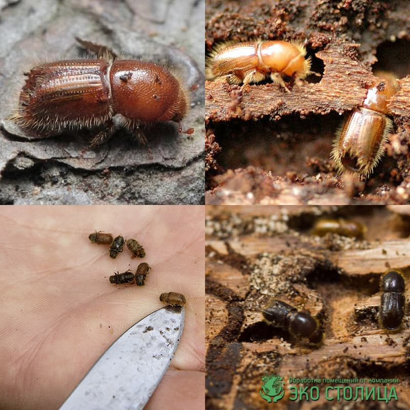Короед жук борьба в домашних условиях 130