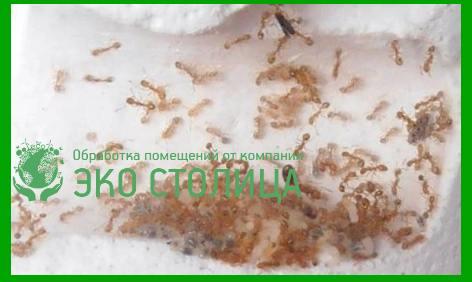 Вывести муравьев домашних условиях 170