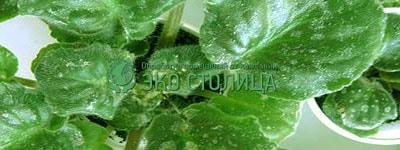 Мучнистая роса: как бороться с белым налетом на листьях