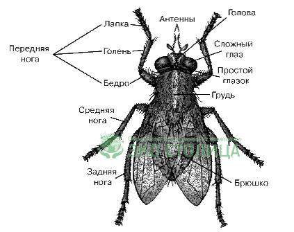Строение мухи схема
